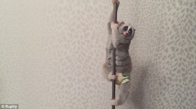 Slow Loris Pole Dance