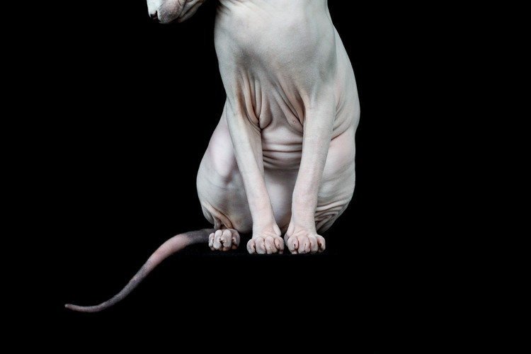 Sphynx Out of Frame