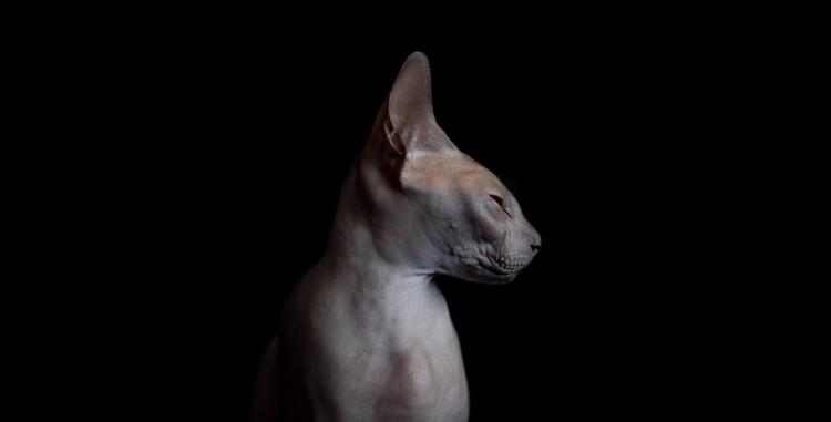 Sphynx Profile