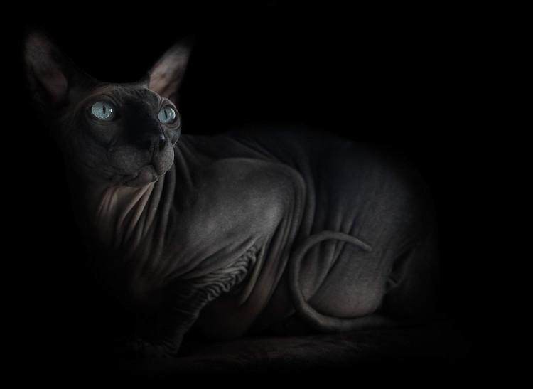 Sphynx in Shadow