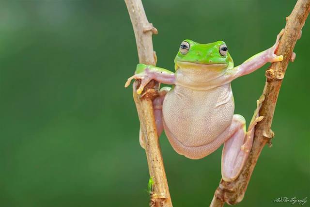 Stilt Walking Frog