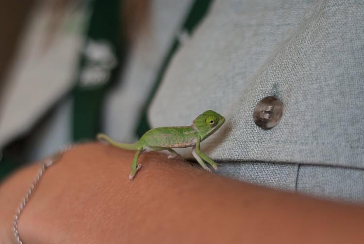 Veiled Chameleon Button