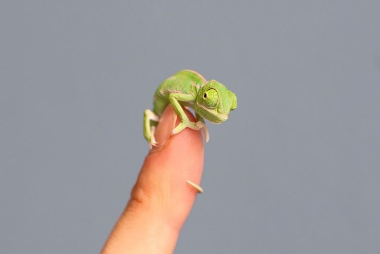Veiled Chameleon Fingertip