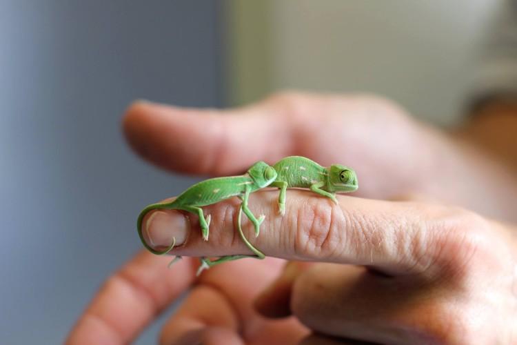 Veiled Chameleons Finger