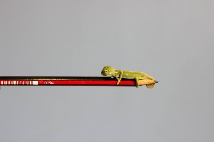 Veiled Chameleons Pencil Tip