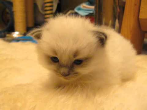 Drowsy Kitten Disappears Into the Carpet Whenever She Tucks Her Head and Falls Asleep
