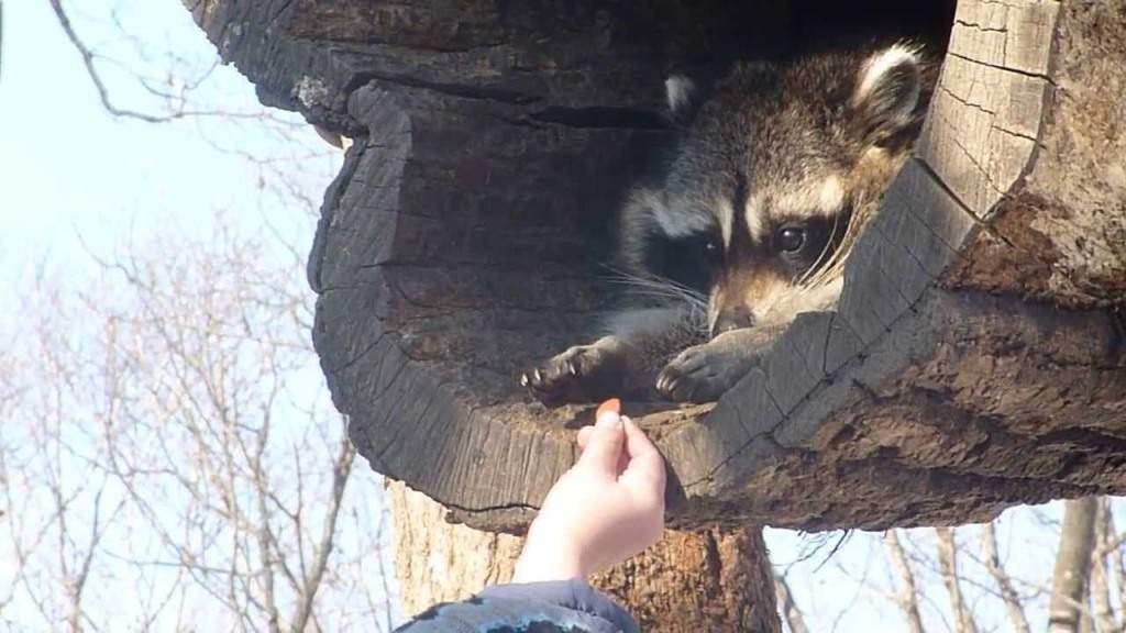 Reticent Raccoon Cautiously Accepts an Offered Piece of Food With Both Hands