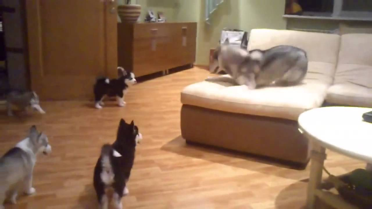 Siberian Husky Mom Teaches Her Puppies How to Run Around and Play in the Living Room