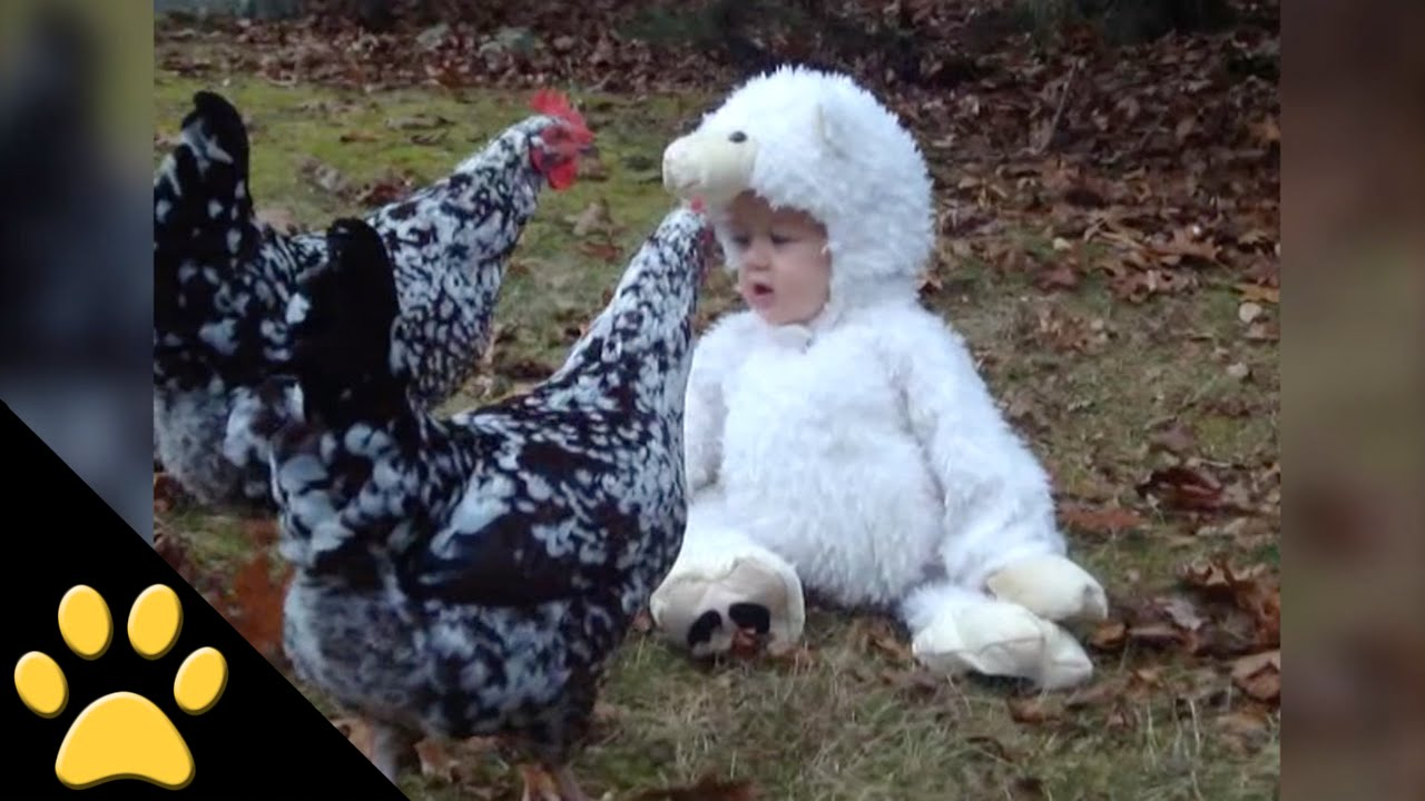 sc 1 st  Laughing Squid & Barnyard Chickens Curiously Examine a Human Baby Wearing a Lamb Costume