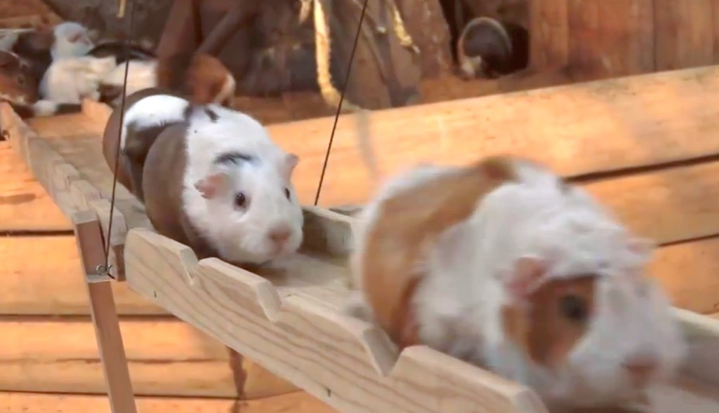 Songsmith Parry Gripp Sings About the Wooden Guinea Pig Bridge at the Nagasaki Bio Park in Japan