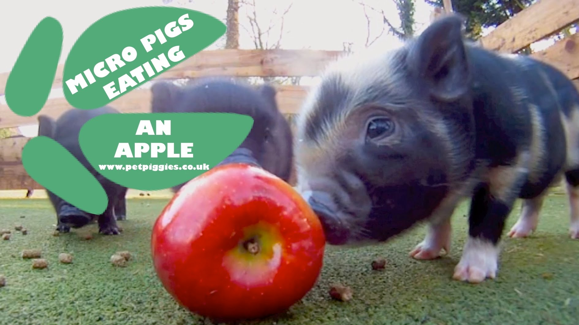 Tiny Six-Week-Old Piglets Adorably Share a Bright Red Apple