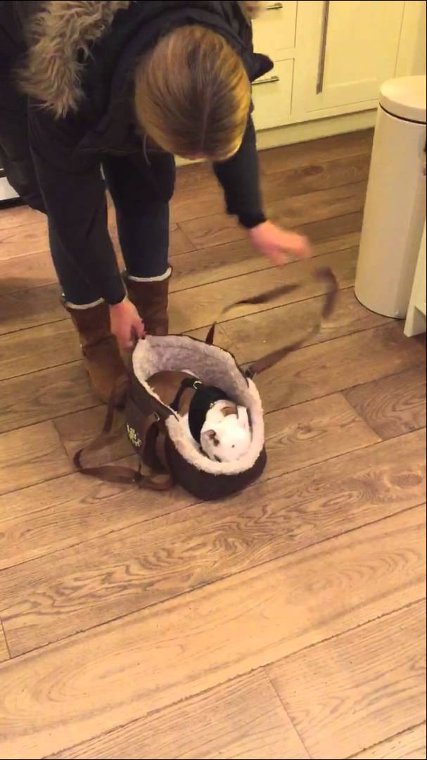 Tiny English Bulldog Puppy Willingly Allows Her Human to Zip Her Up in a Fuzzy Carrier