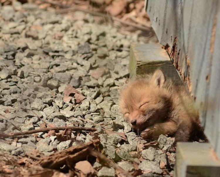 Baby Fox Under House