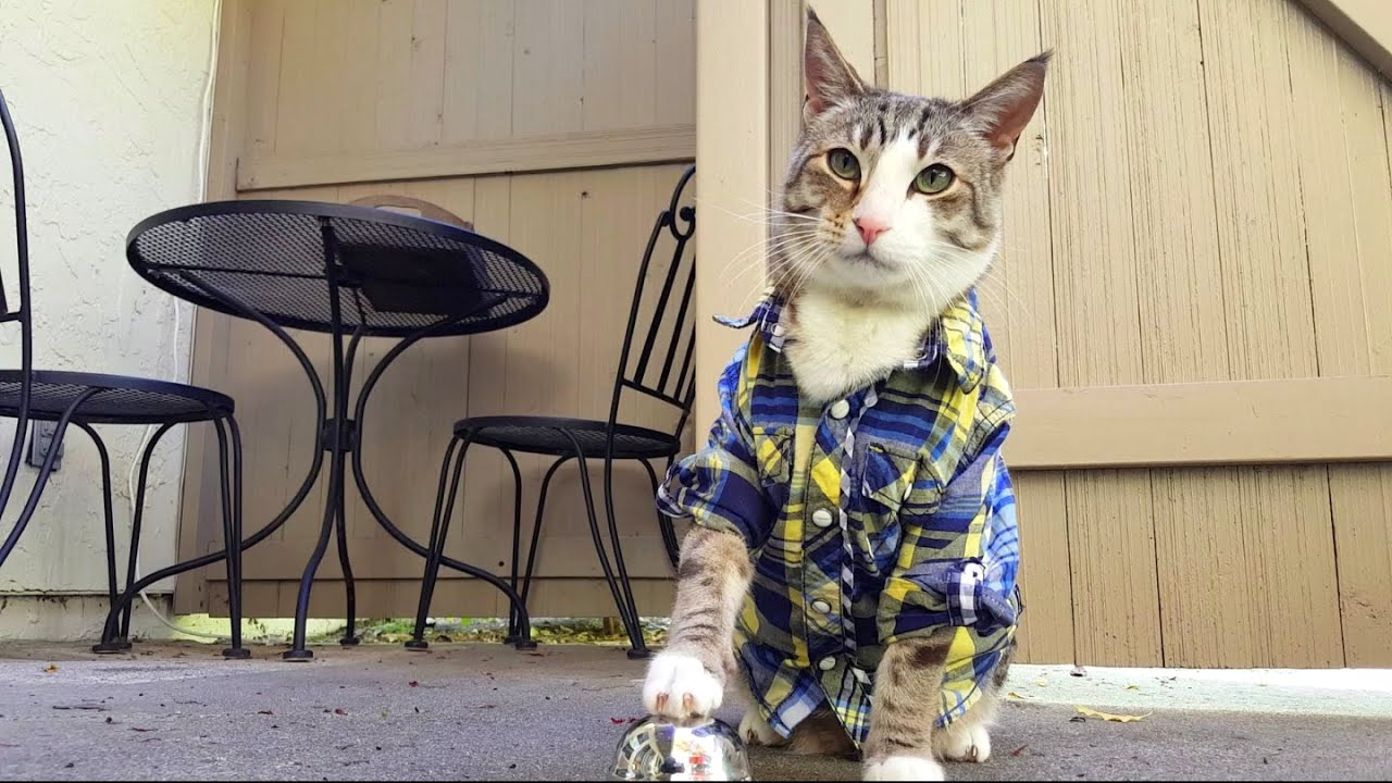 A Super Sharp Cat Wearing a Plaid Shirt Repeatedly Rings a Service Bell for More Treats