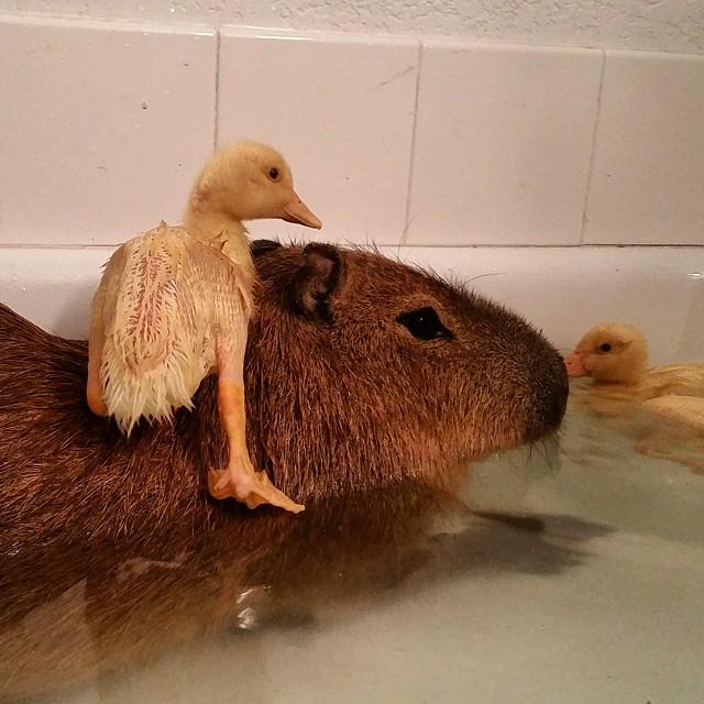 JoeJoe and Ducklings in the Bath