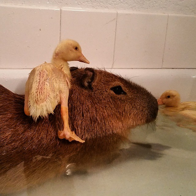 Genial Capybara Makes for a Good Jumping Off Point for Three Little Ducklings in the Bath