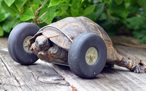 90-Year-Old Tortoise Who Lost Her Front Legs to Rats Is Able to Move Again With the Help of Model Airplane Wheels
