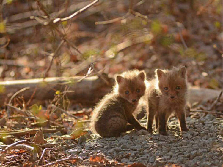 Two Baby Foxes