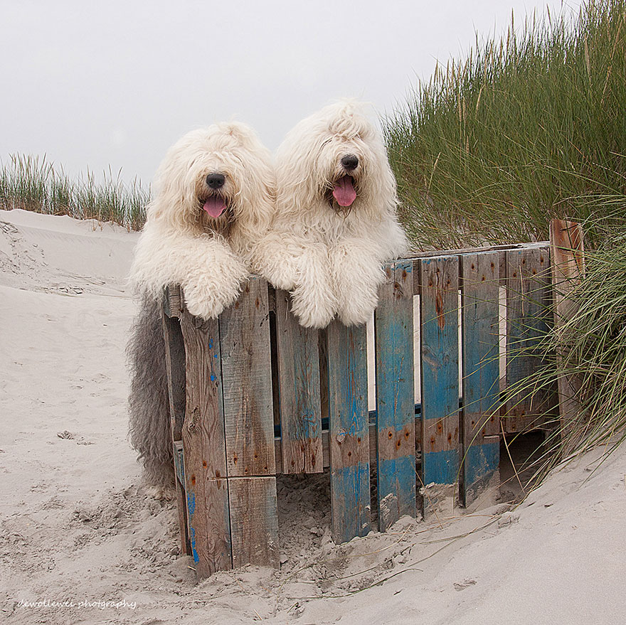Sophie and Sarah, Old English Sheepdog Sisters Who Model Beautifully for the Camera