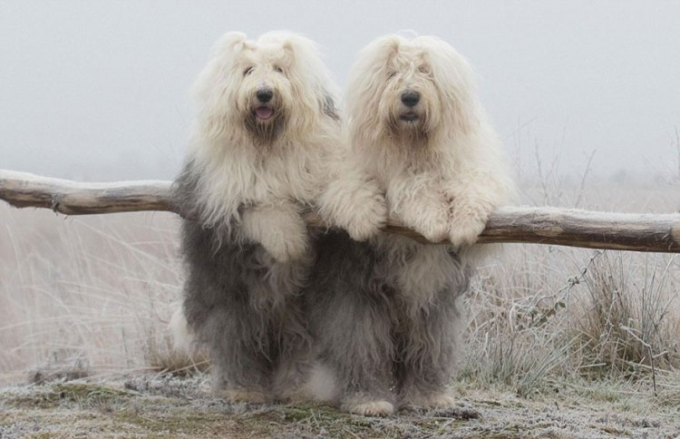 Sophie and Sarah, Old English Sheepdog Sisters Who Model ...