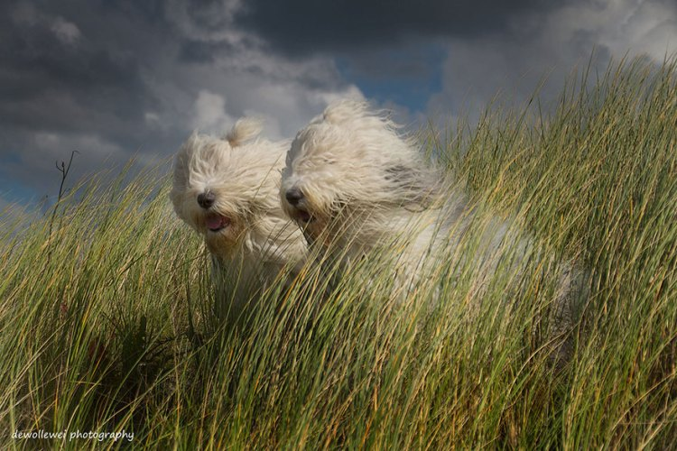 Old English Sheepdog Sisters Sophie and Sarah