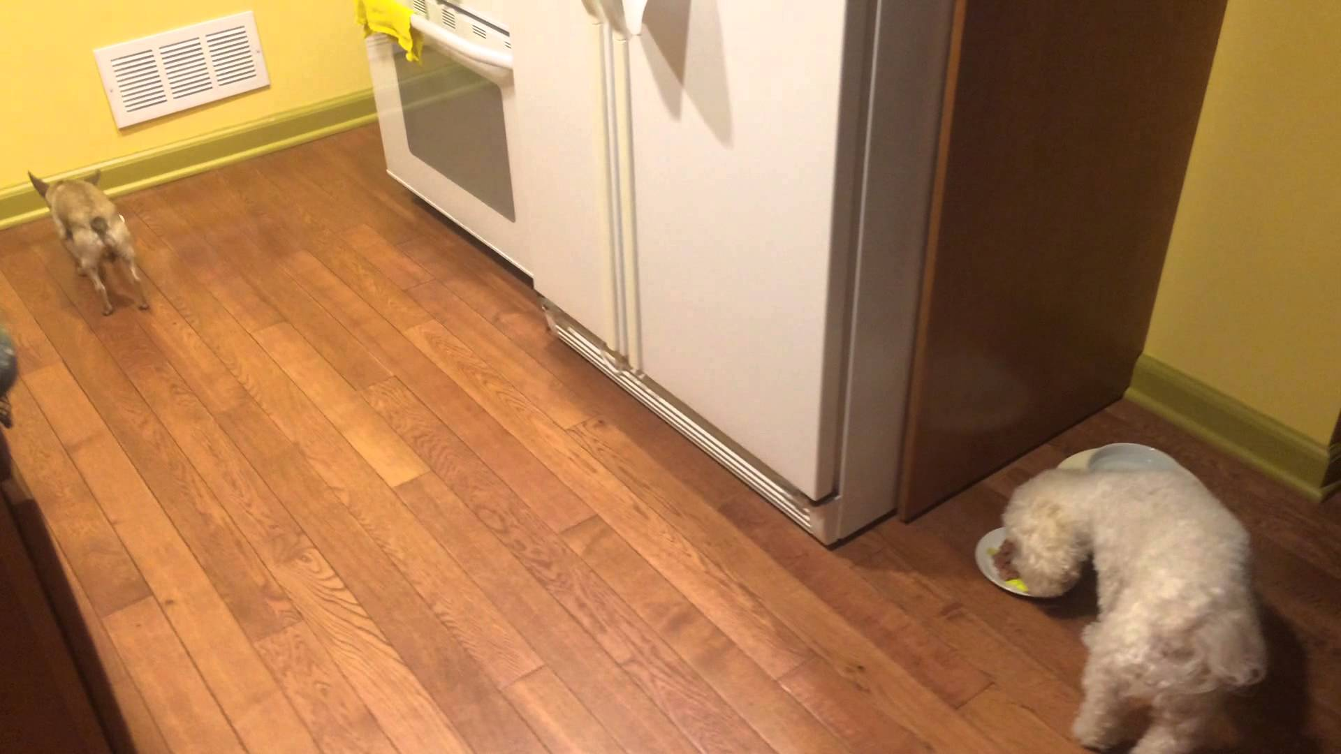 Tiny Rescued Dog Drags Her Plate Backwards Across the Kitchen So She Doesn't Have to Eat by Herself