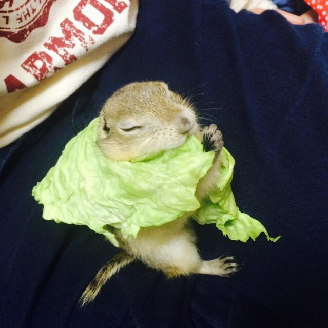 Squirrel Cabbage Cape