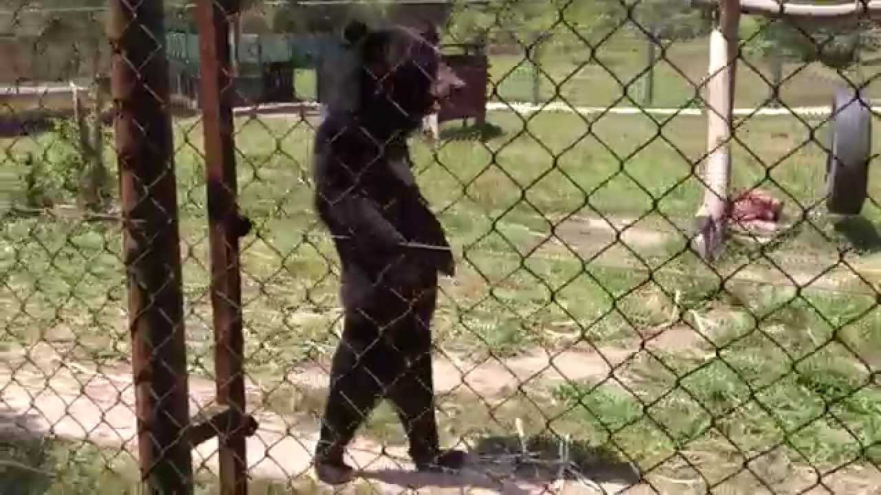 A Rescued Asiatic Black Bear Walks Upright on His Hind Legs