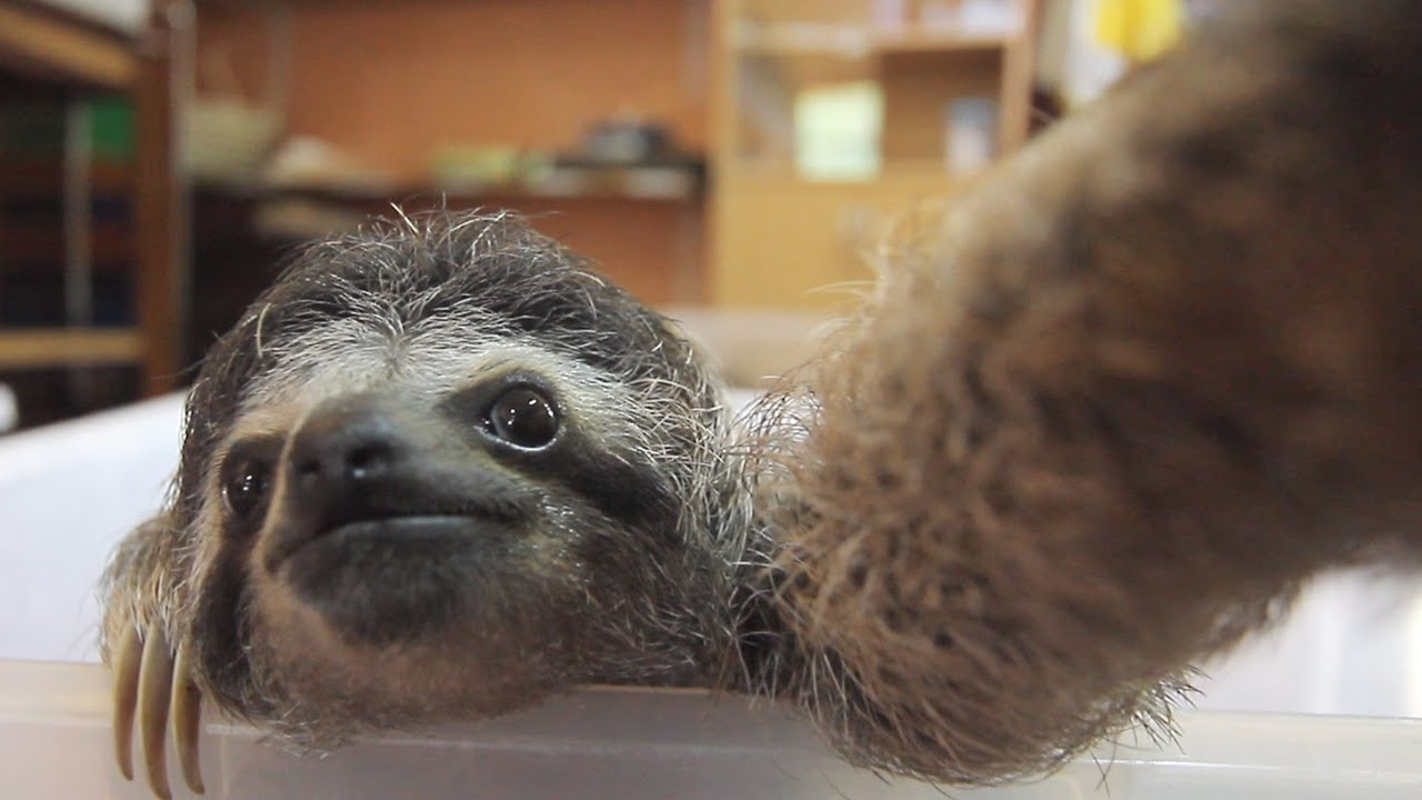 A Baby Sloth Spots a Camera and Then Takes Selfies