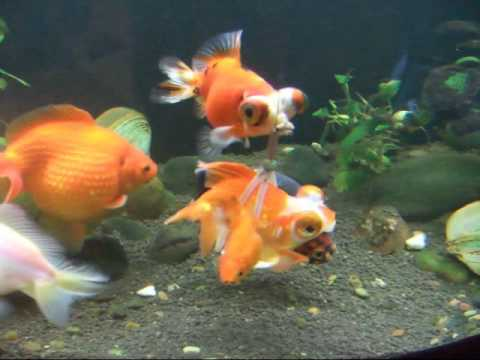 Caring Human Creates a Buoyant Harness For Her Disabled Goldfish