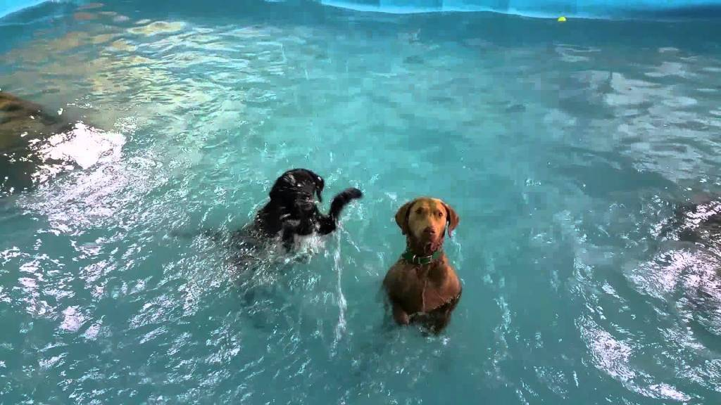 Placid Weimaraner Unintentionally Demonstrates How to Stand Up in a Pool To an Excited Black Lab