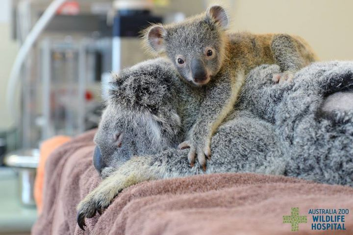 Koala Baby Snuggles With His Mom While She Receives Treatment for Injuries After a Car Accident