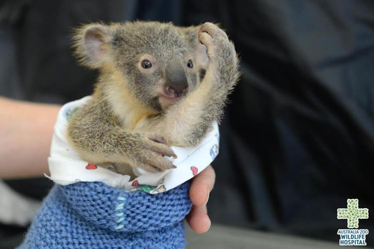 Phantom the koala joey