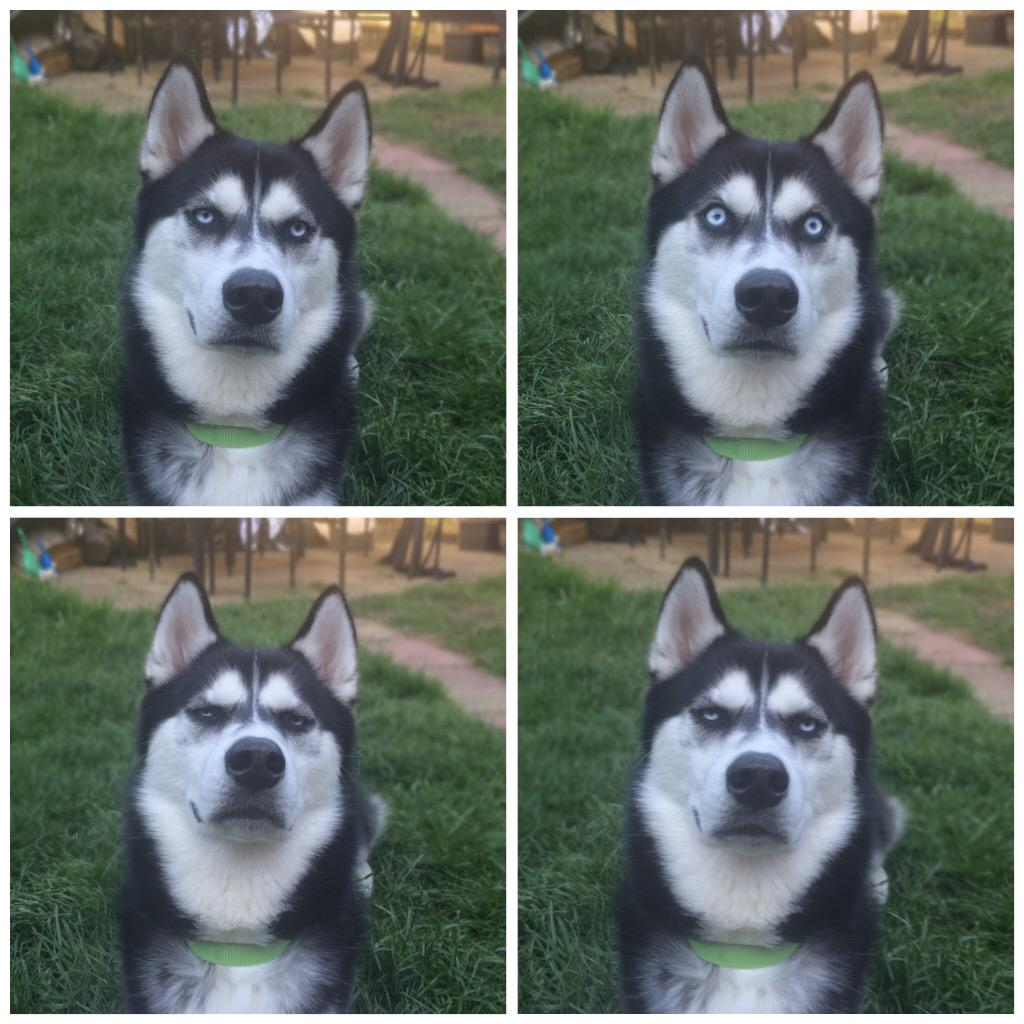 Dissapointed Husky