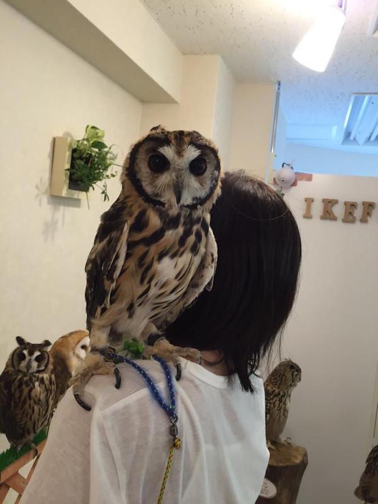 Owl on Shoulder