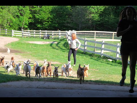A Group of Adorable Baby Goats Run Back and Forth Across a Farm With a Couple of Lively Humans