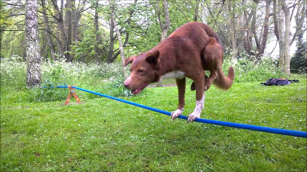Acrobatic Dog Skillfully Performs an Amazing Rope Handstand After Two Years of Practice