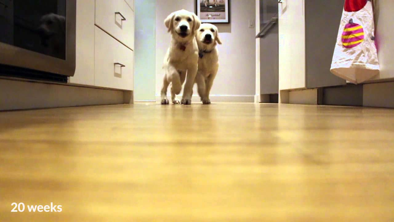 Adorable 9 Month Time Lapse of Two Growing Puppies Repeatedly Sprinting Toward Their Food