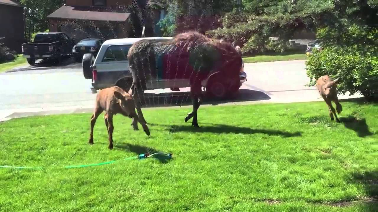Alaska Resident Captures Adorable Footage of a Moose and Her Two Calves Playing in the Sprinkler