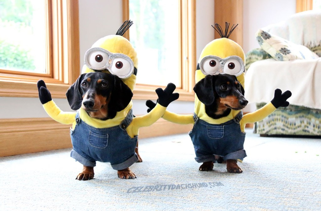 Crusoe the Celebrity Dachshund and His Brother Oakley Play Fetch While Dressed as Yellow Minions