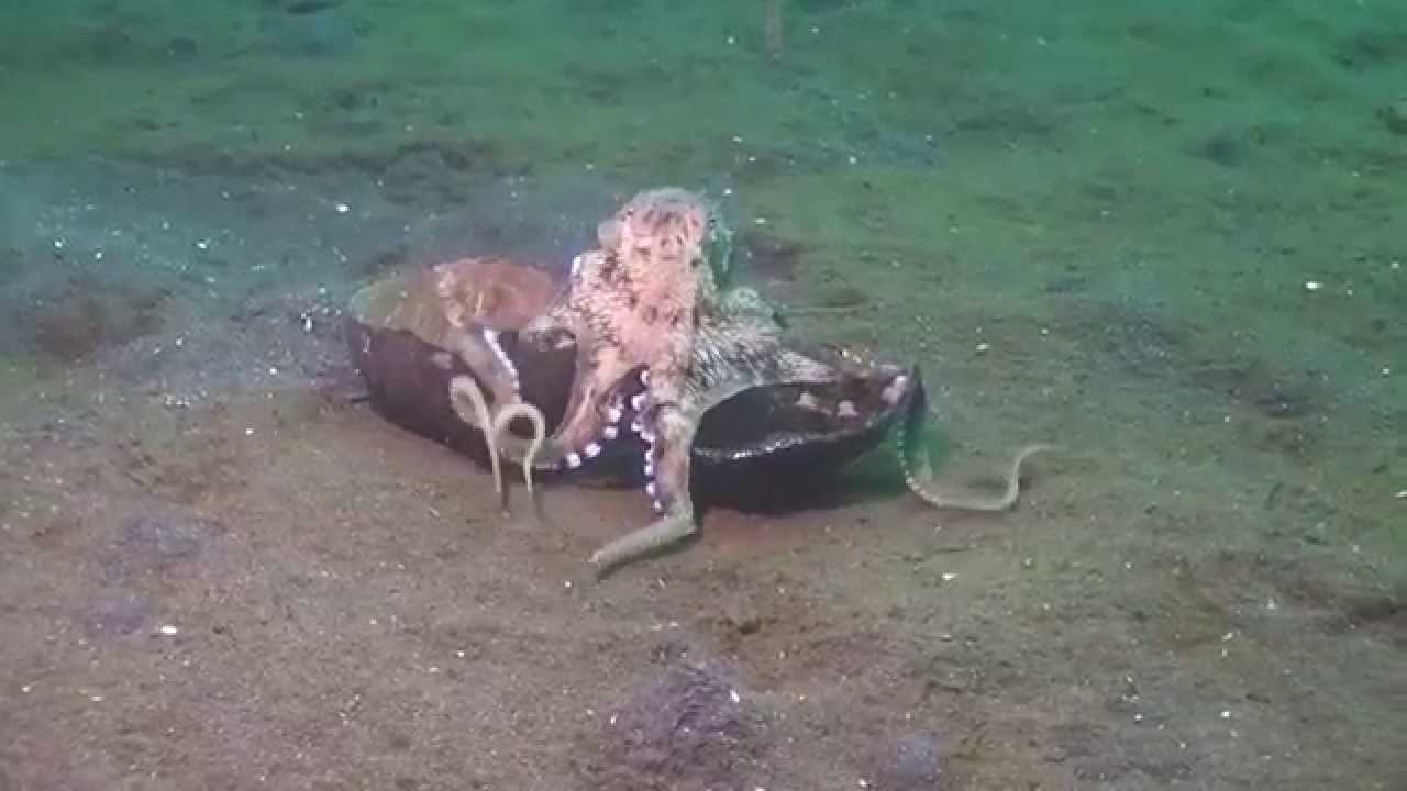 Determined Octopus Walks an Empty Coconut Shell Across the Ocean Floor