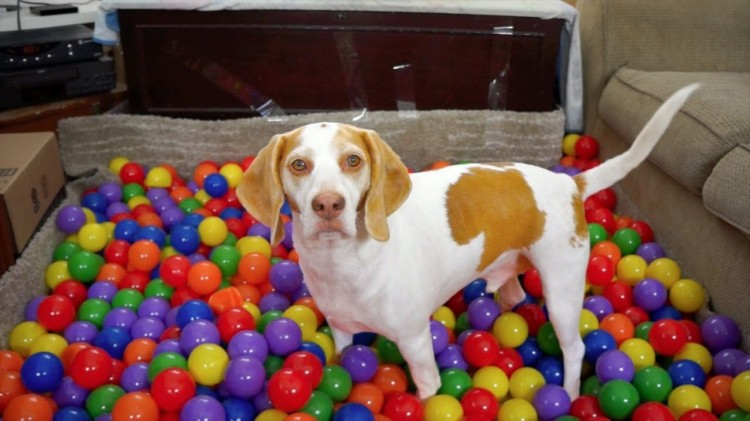 Maymo the Lemon Beagle Gets a Big Birthday Surprise of a Homemade Ball Pit Filled With 1,000 Rainbow Colored Balls