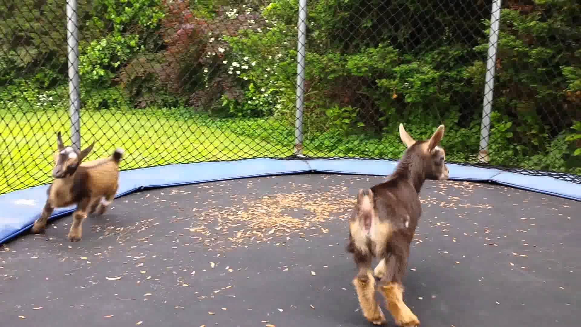 three tiny baby goats adorably jump around together on a backyard