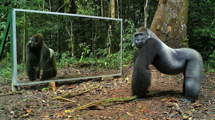 Wild Animals React With Curiosity, Vanity and Hostility at Mirrors That Were Placed in Their Respective Paths