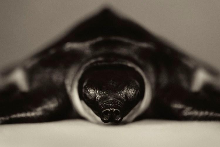Pignose Turtle