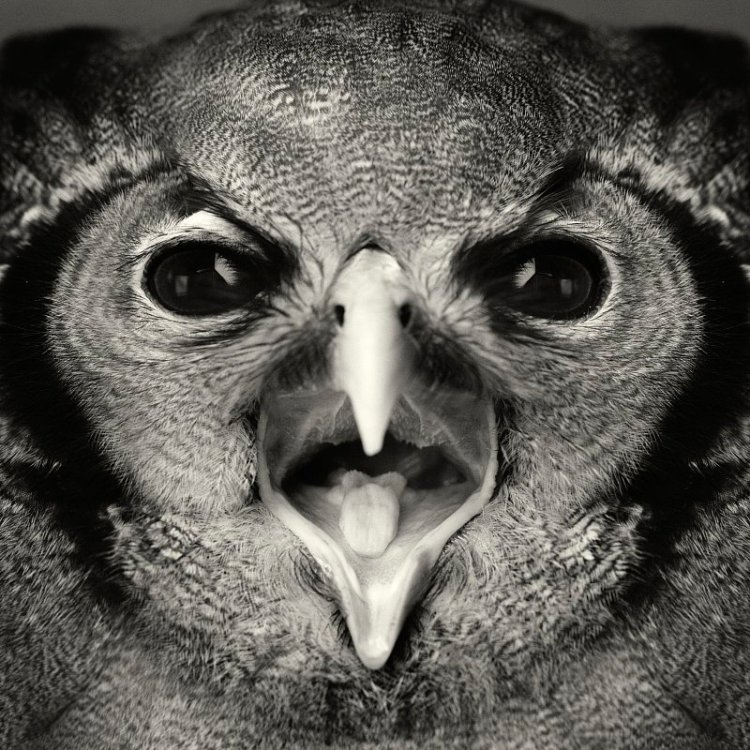 Shouting Owl