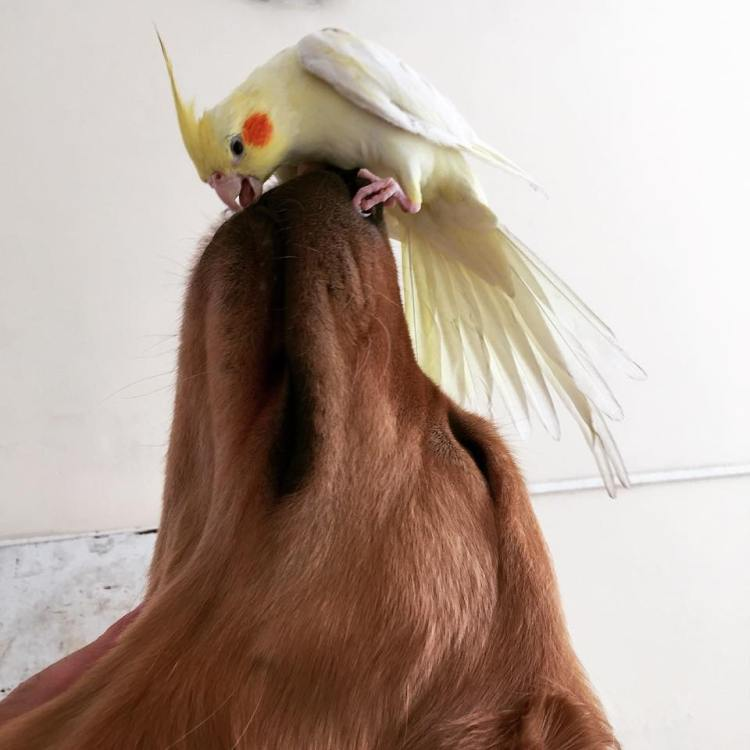 Bob and Cockatiel