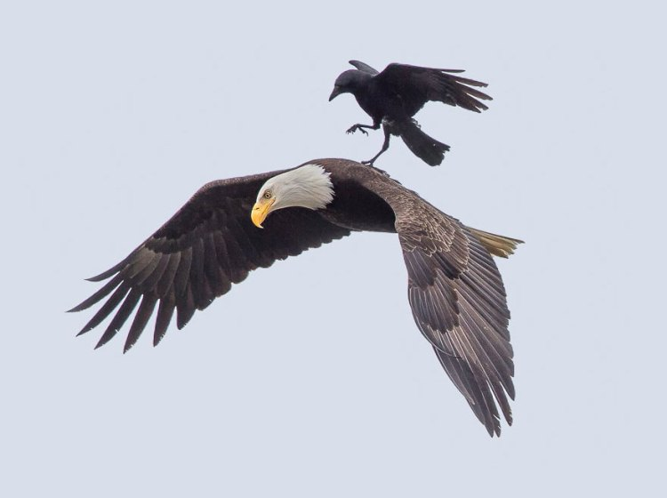 Eagle and Crow 3