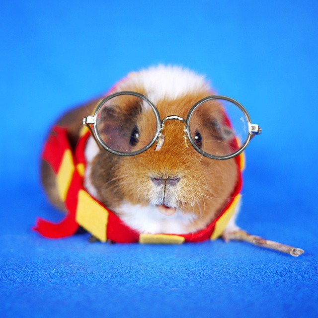 & Fuzzberta A Fashionable Guinea Pig Who Likes to Dress Up in Costume