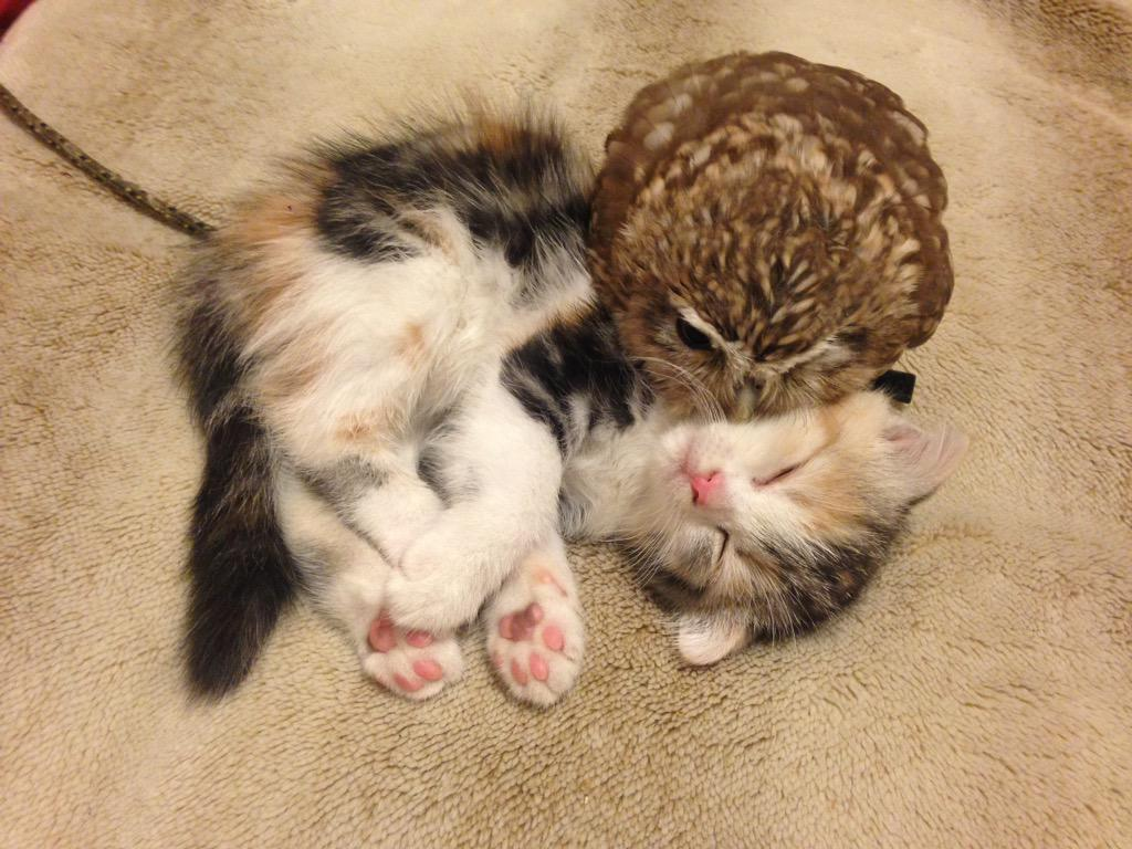 A Tiny Kitten and a Baby Owl Happily Snuggle and Play To her at